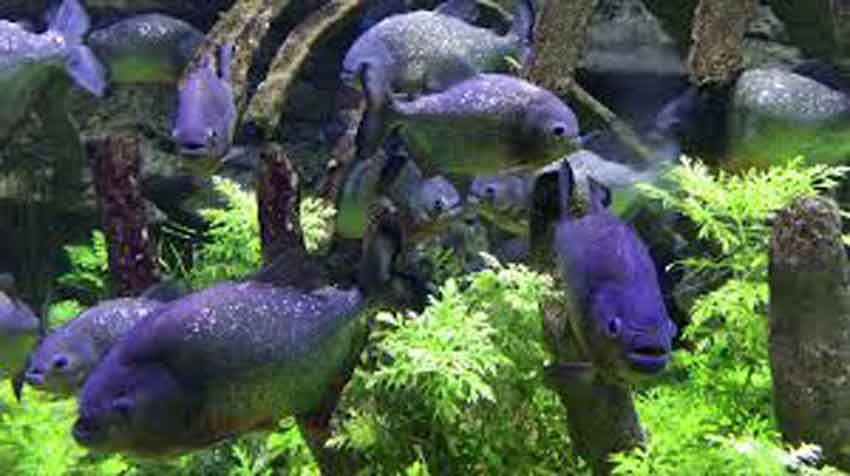 piranha swimming in an aquarium