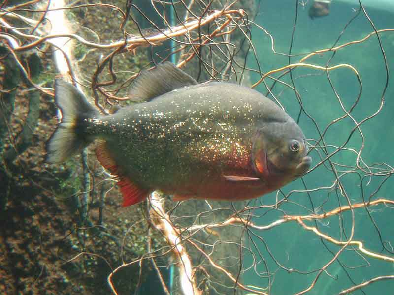 a single red bellied piranha