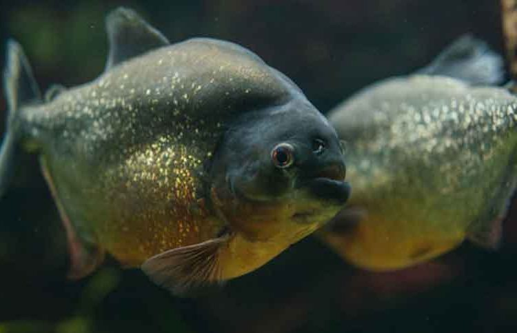 female and male red bellied Piranha