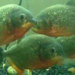 Pet Piranha Care: Do Piranhas Make Great Family Pets?