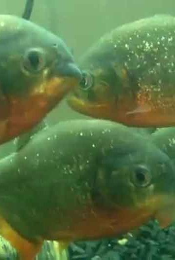 4 red bellied piranha in an aquarium tank