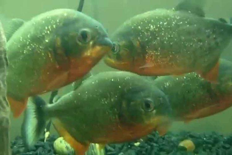 4 red bellied piranha in an aquarium tank