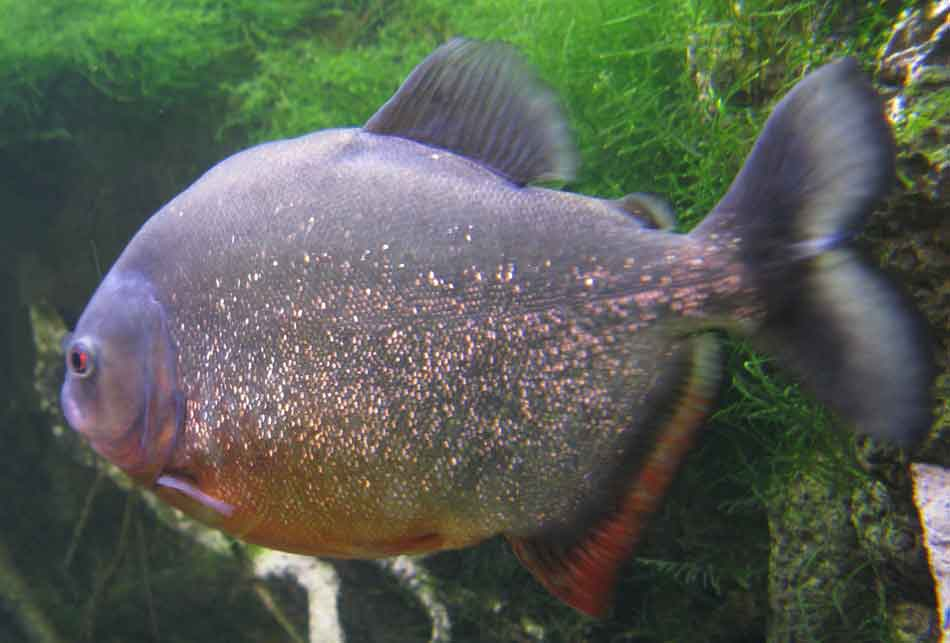 A close up of the red bellied Piranha