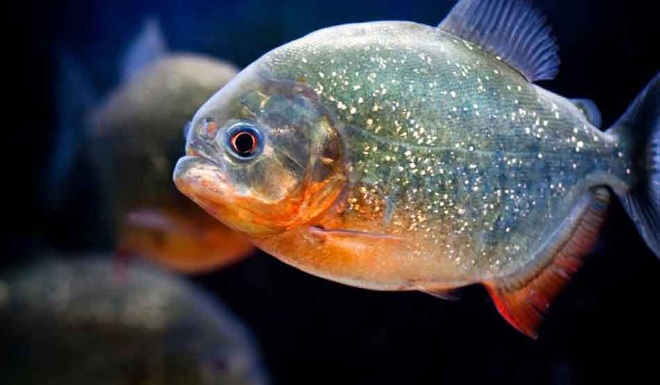 single red bellied piranha close up
