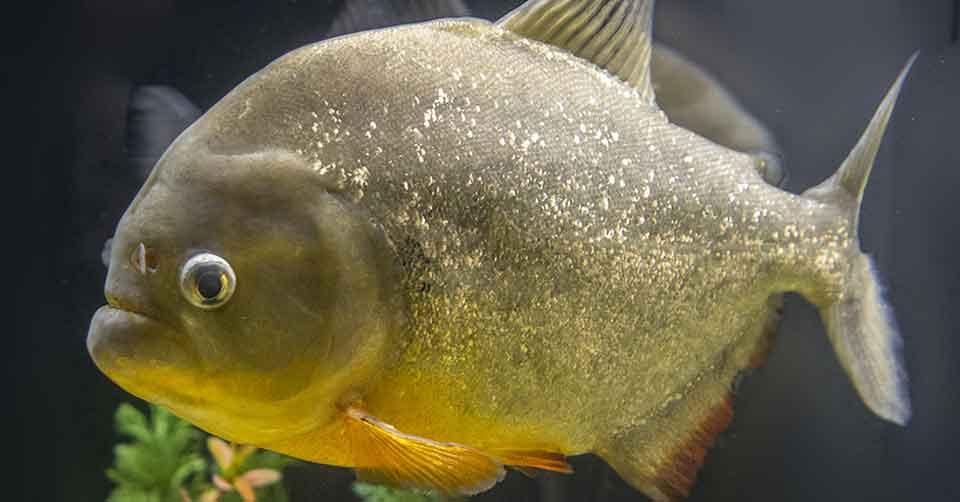 single piranha close up