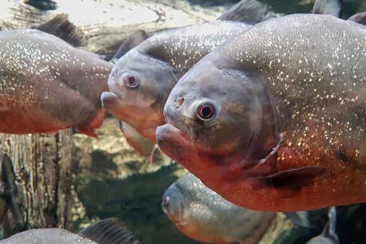 three red bellied piranha close up