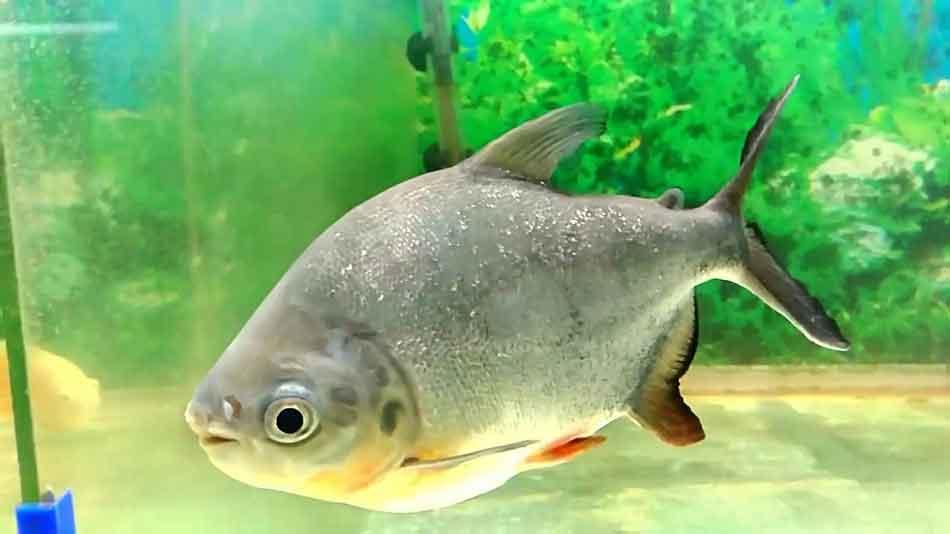 a single piranha side on