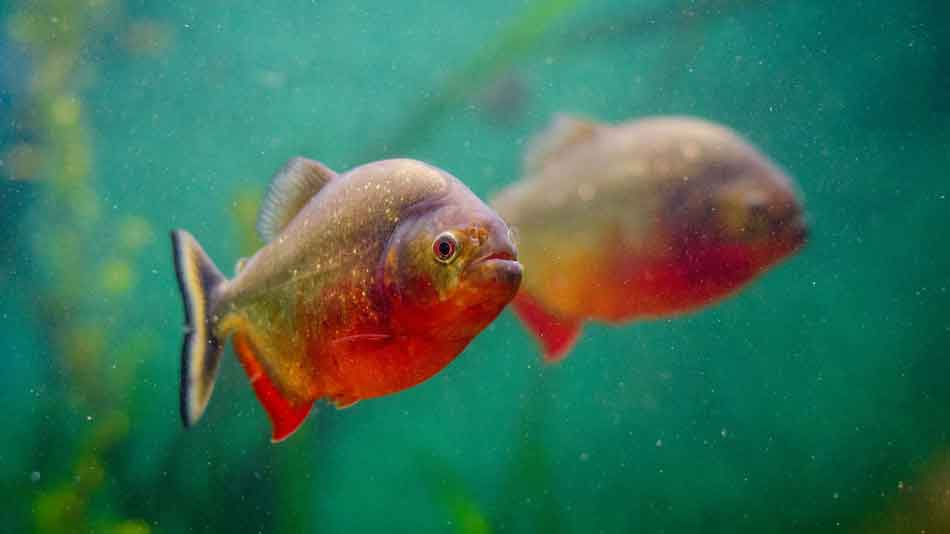 Single red bellied piranha and reflection
