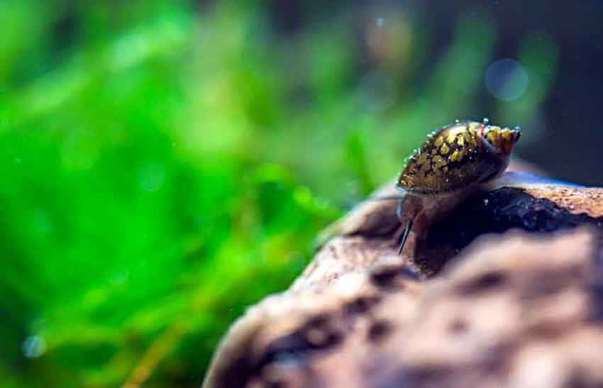 snail in a piranha aquarium