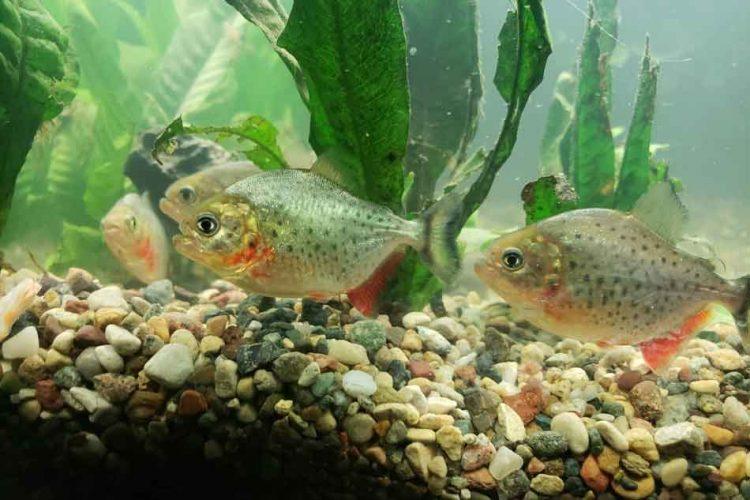 4 juvenile red bellied piranha in an aquarium
