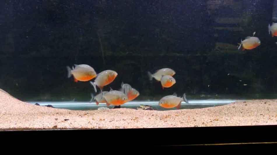 10 juvenile red bellied piranha in an aquarium