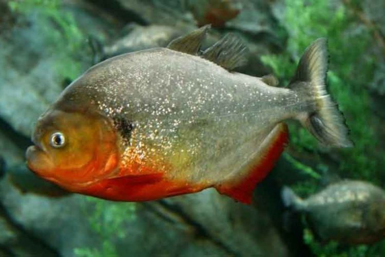 close up of a single red bellied adult piranha