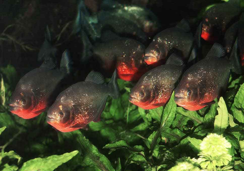 a shoal of red bellied piranha