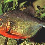 Which Piranha Is The Most Aggressive?