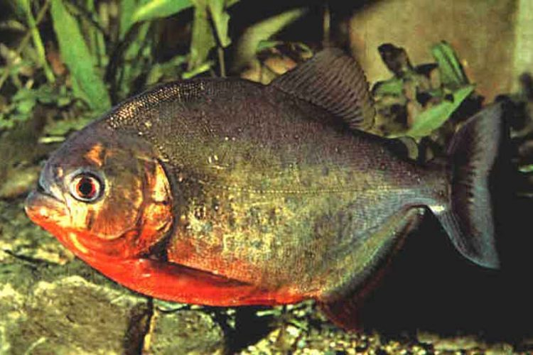 a single red bellied piranha