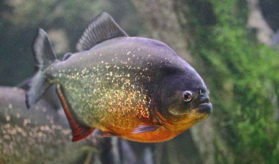 a red bellied piranha day