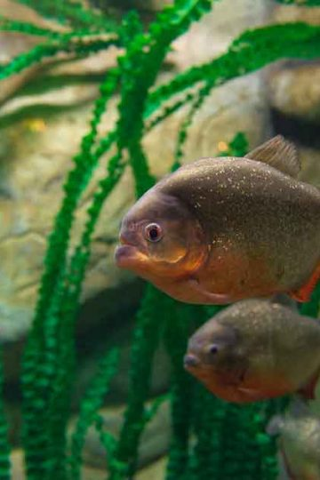 several red bellied piranha day