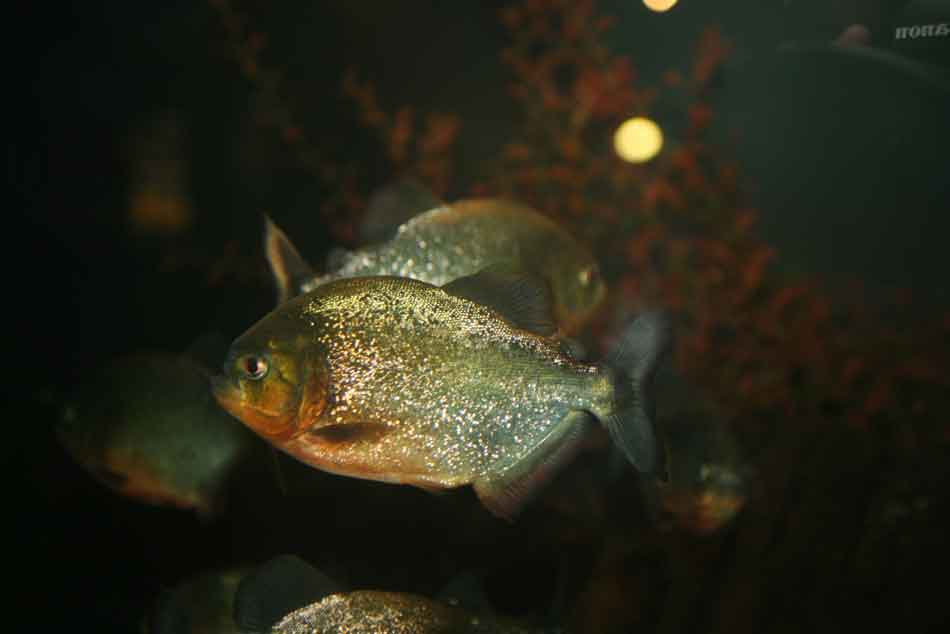 a red bellied piranha at night