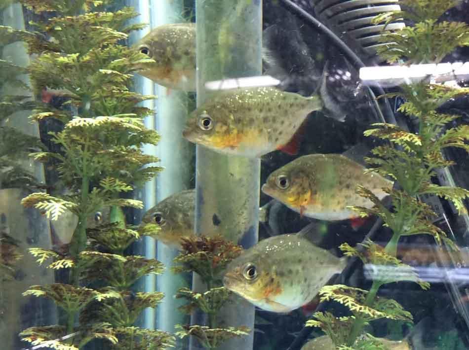 5 aquarium red bellied piranha swimming