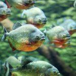 The Piranha Species - How Do You Classify Piranha?
