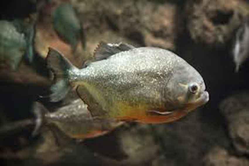 a single piranha