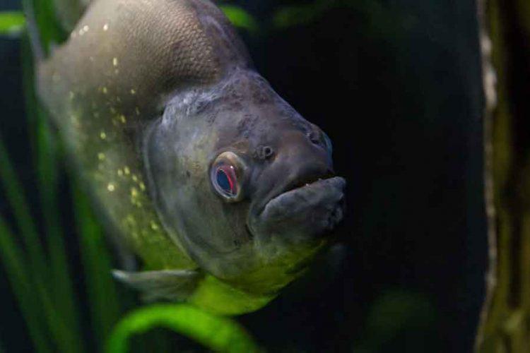 a single piranha face forward