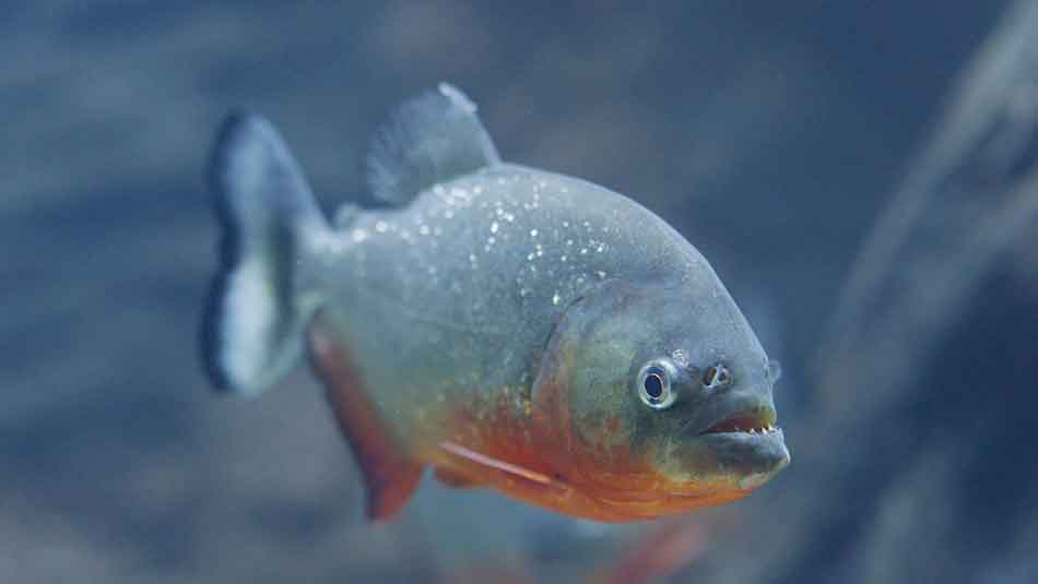 single red bellied piranha