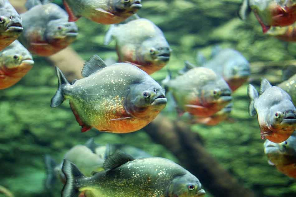 a school of red bellied piranha