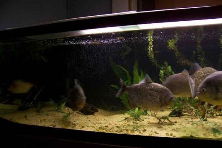 4 red bellied piranha in a tank