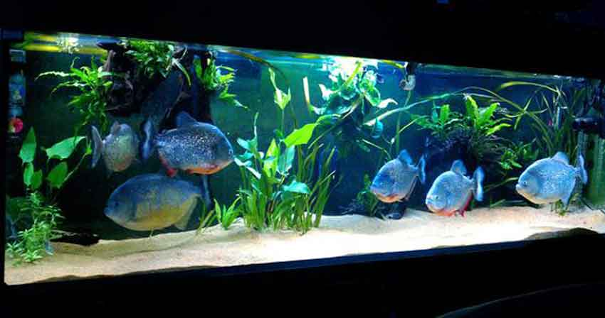 6 red bellied piranha in a tank