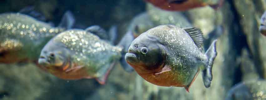 3 red bellied piranha close up