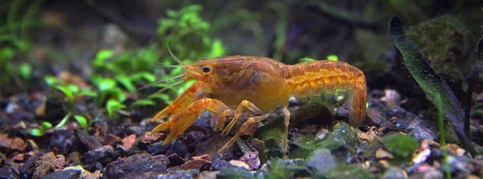 a crayfish in an aquarium