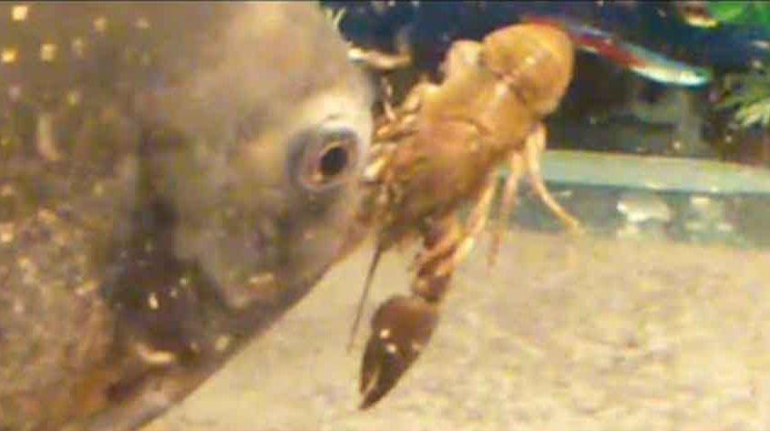 a piranha eating a crayfish