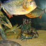Will Piranha Eat Crayfish - What Species Survives In The Tank?