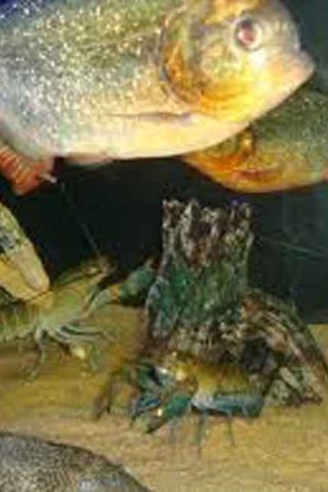 red bellied piranha with crayfish