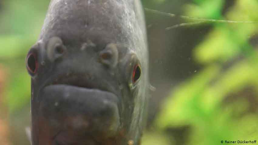 piranha face on