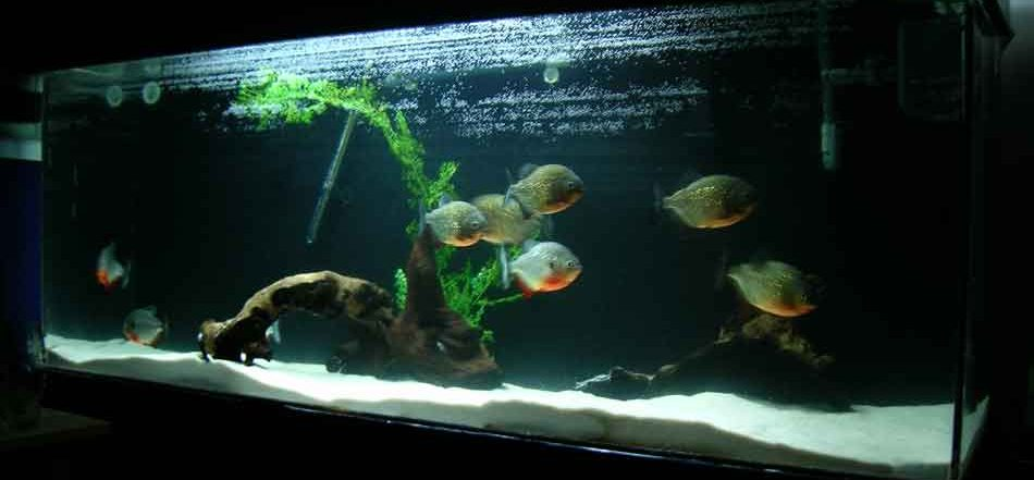 piranha in a home aquarium