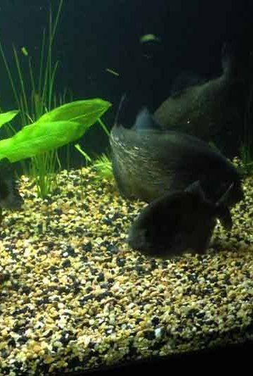 piranha behavior in a tank