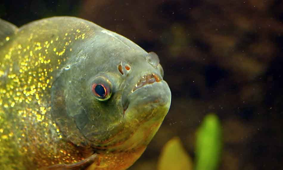 piranha behavior in a tank close up