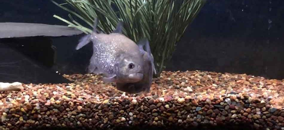 piranha behavior in a tank