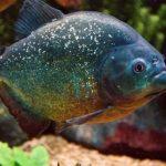 Are Piranhas Legal in Canada