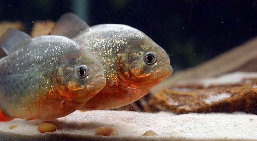 2 red bellied piranha in a Canadian aquarium