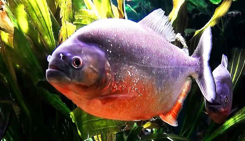 red bellied piranha extreme close up
