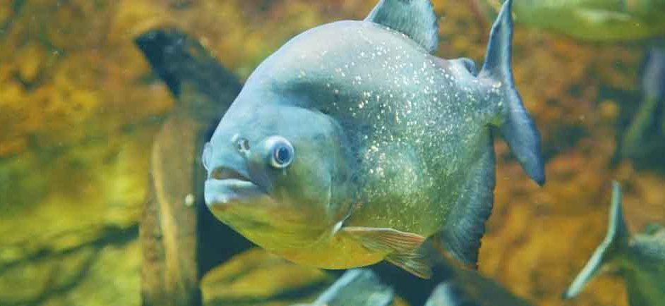 piranha extreme close up