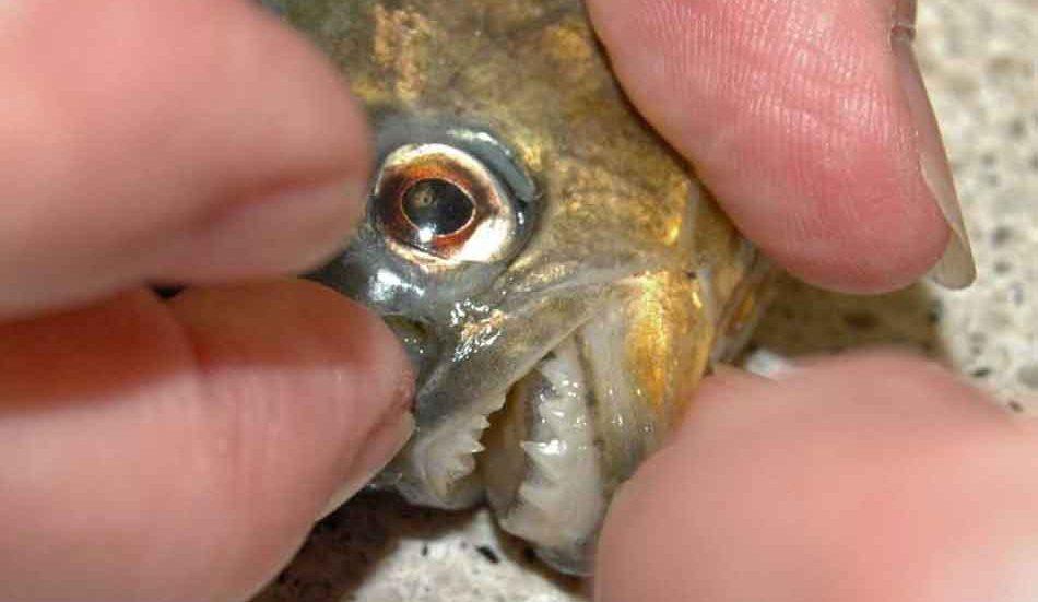 piranha snout close up