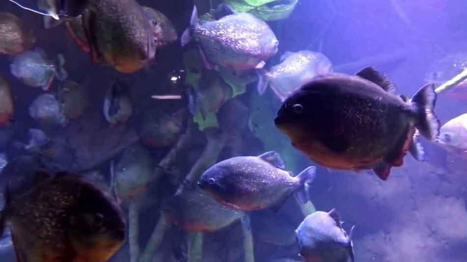 piranha in a large aquarium