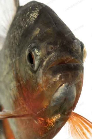 close up front view of small red bellied Piranha