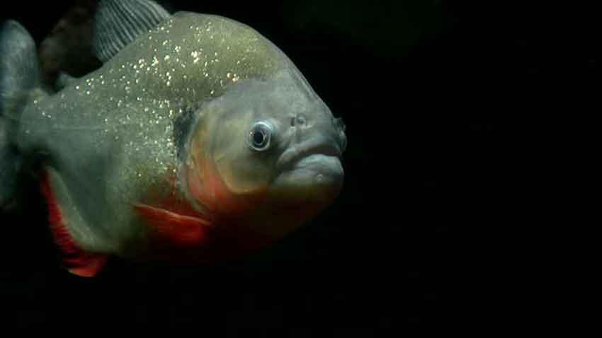 a piranha in the dark