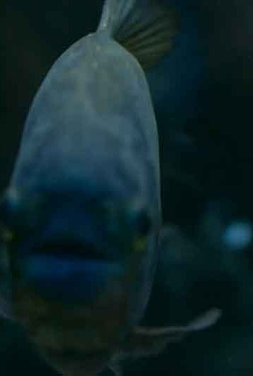 a piranha in the dark face on