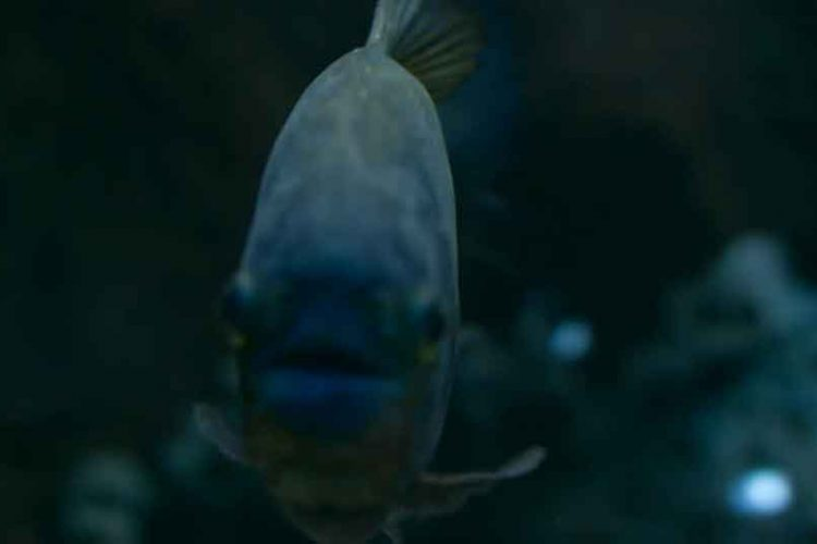 a piranha in the dark face on